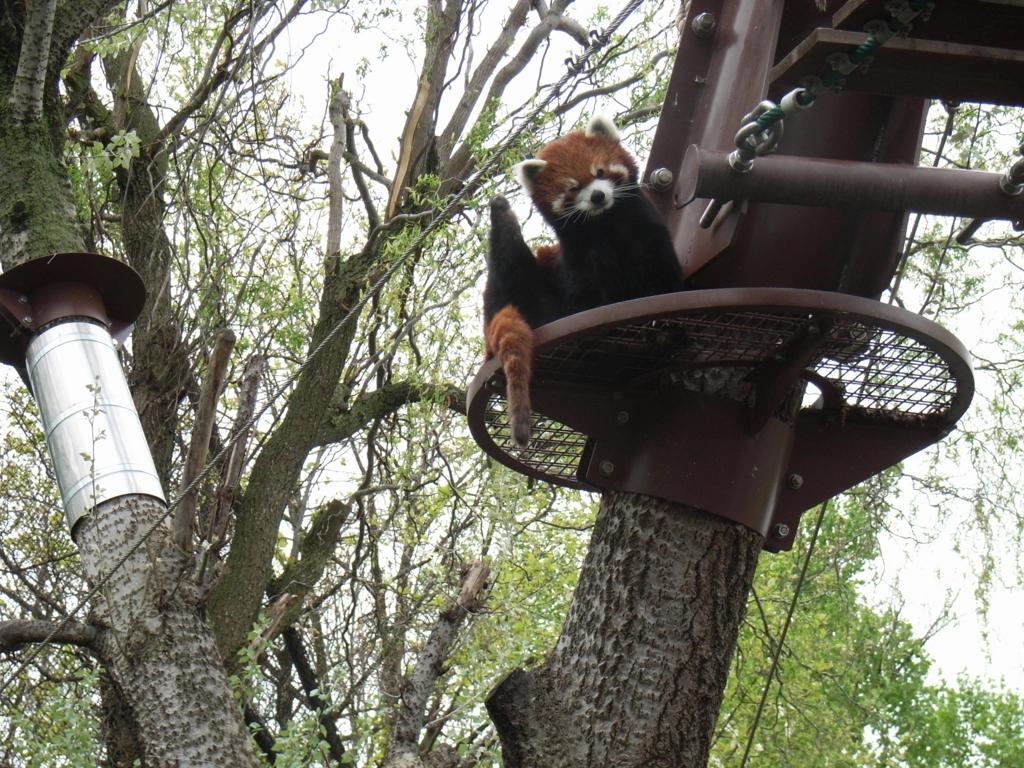 2010年5月 北海道 旭山動物園 レッサーパンダ舎