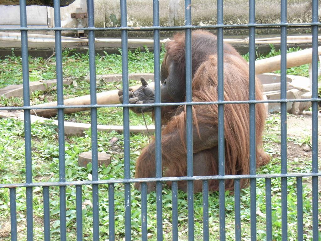 2010年5月 北海道 旭山動物園 オラウータン舎