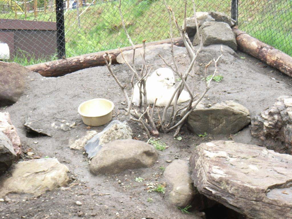 2010年5月 北海道 旭山動物園 ホッキョクギツネ舎
