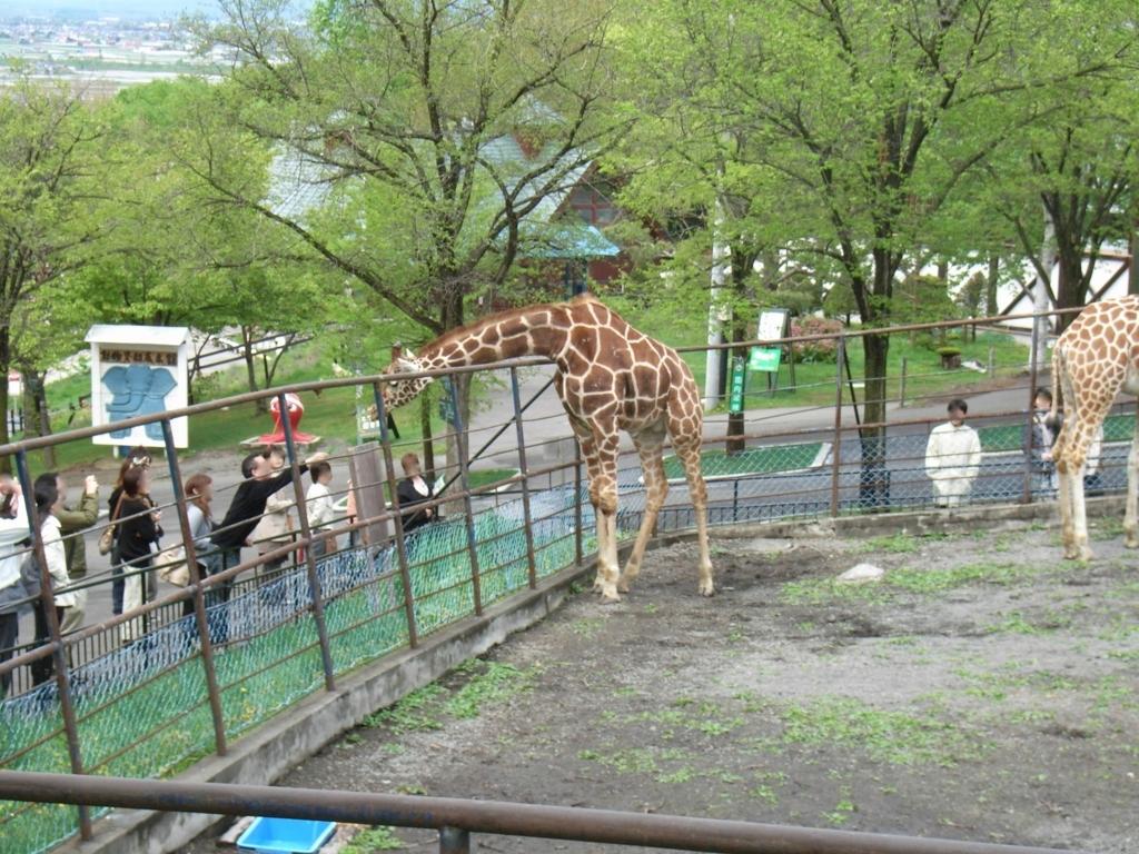 2010年5月 北海道 旭山動物園 草をもらうキリン