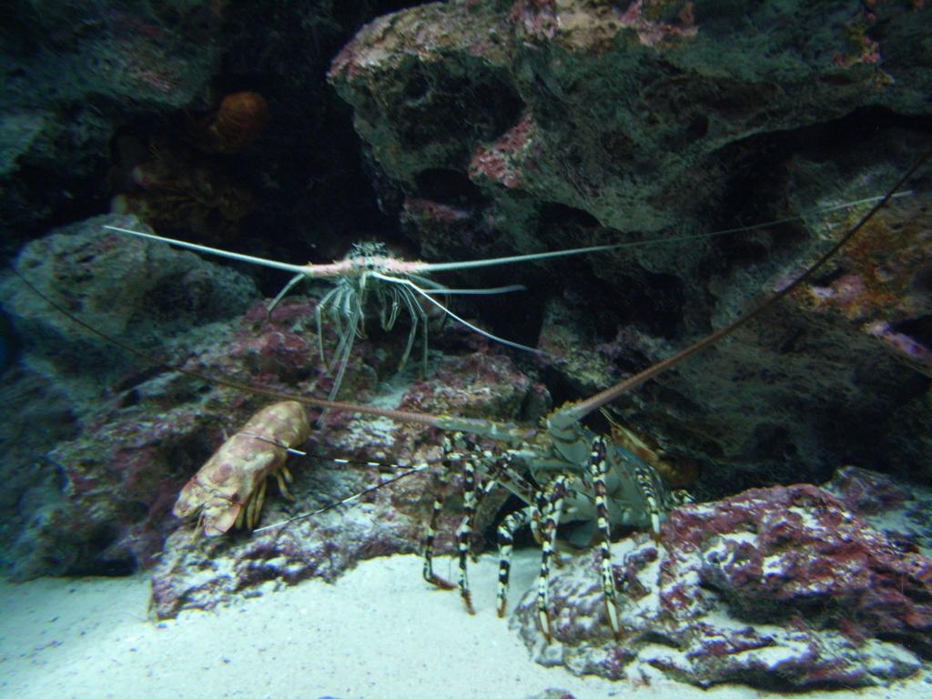 「沖縄美ら海水族館」 大きなエビ