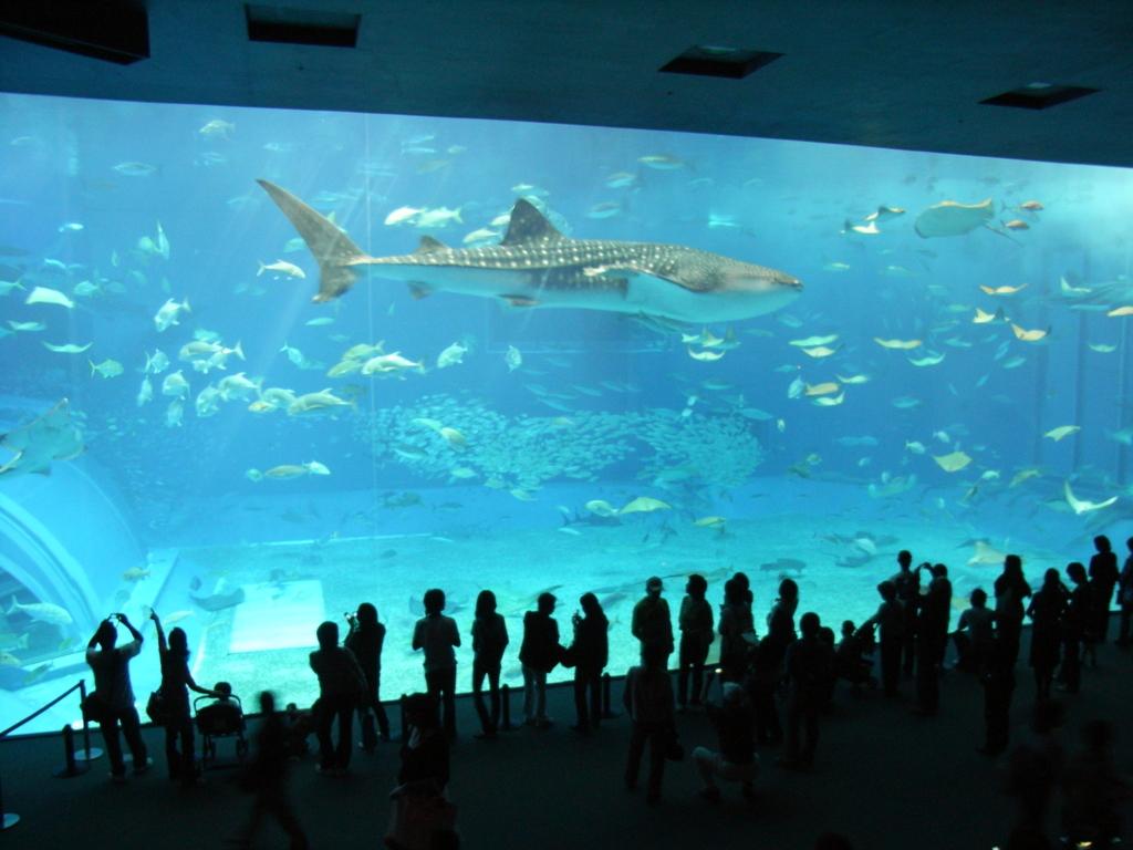 2007年「沖縄美ら海水族館」大水槽「黒潮の海」ジンベイザメ