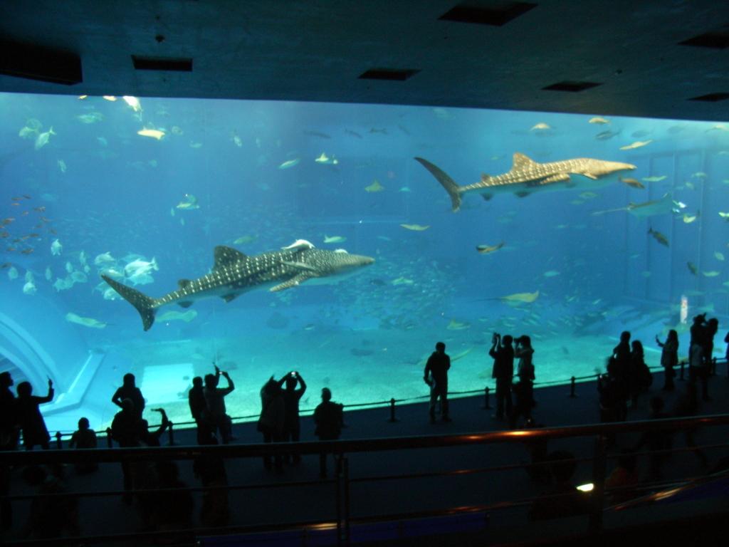 2008年「沖縄美ら海水族館」大水槽「黒潮の海」ジンベイザメ