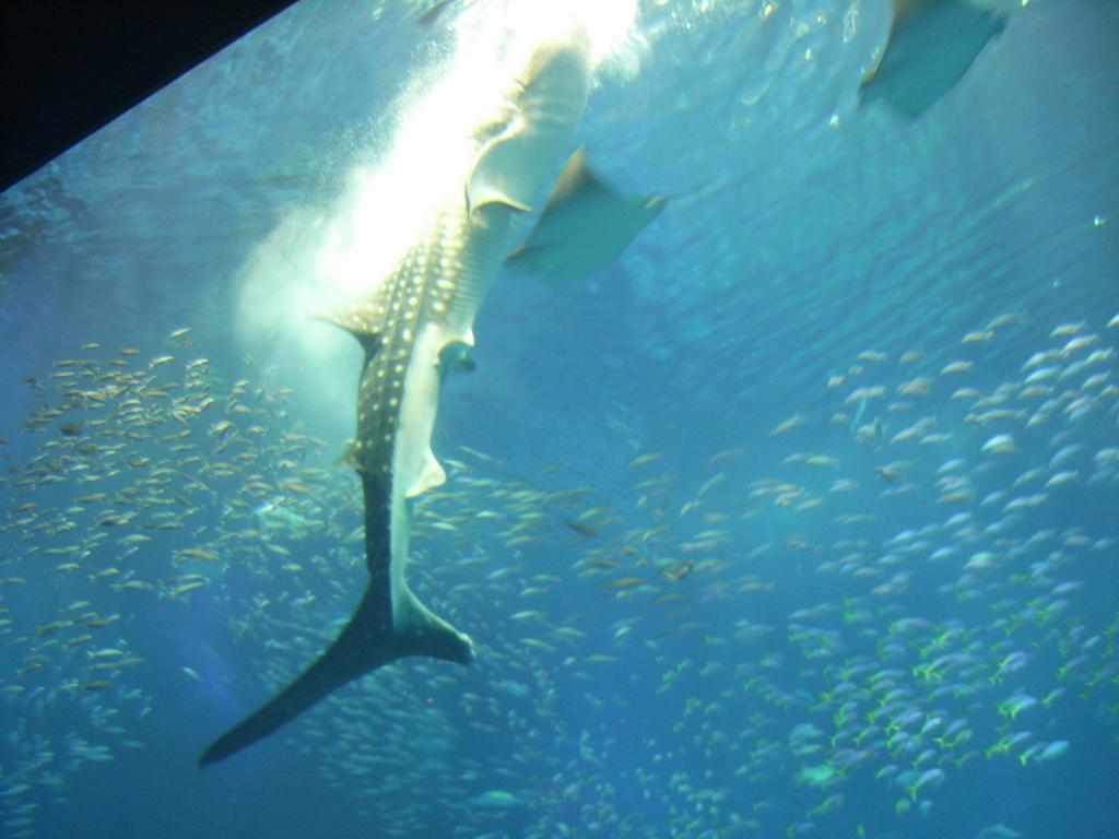 2008年「沖縄美ら海水族館」大水槽「黒潮の海」ジンベイザメ 食事シーン