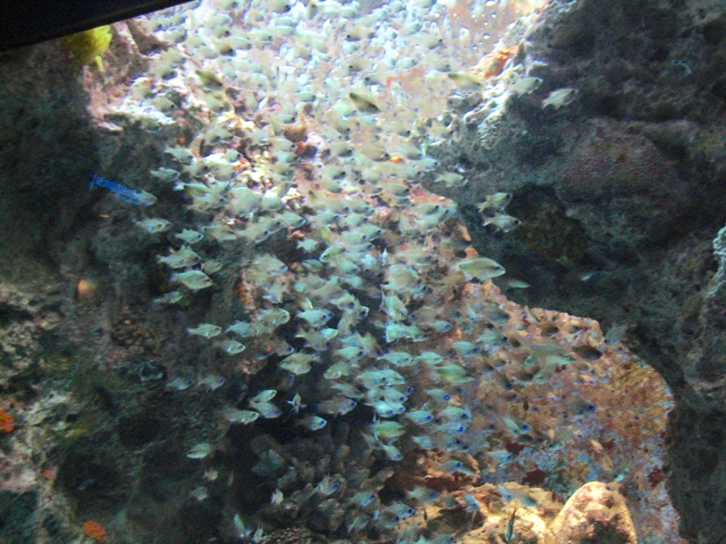 「沖縄美ら海水族館」「サンゴ礁の旅」エリア 熱帯魚の群