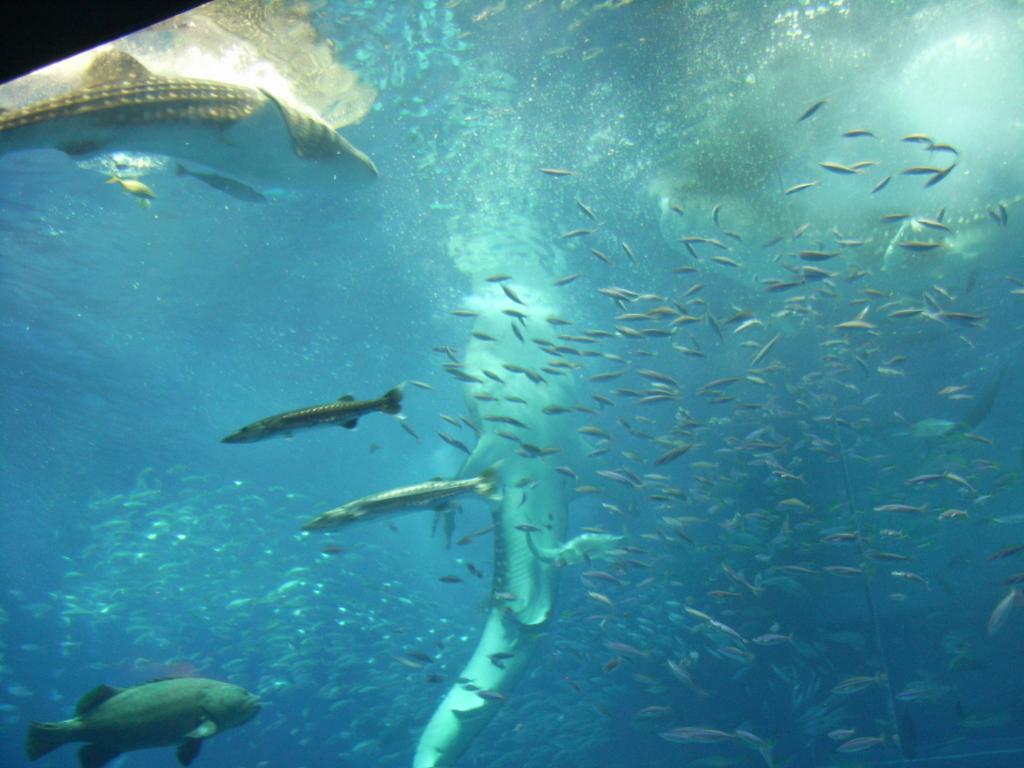 2007年「沖縄美ら海水族館」大水槽「黒潮の海」ジンベイザメ 食事シーン