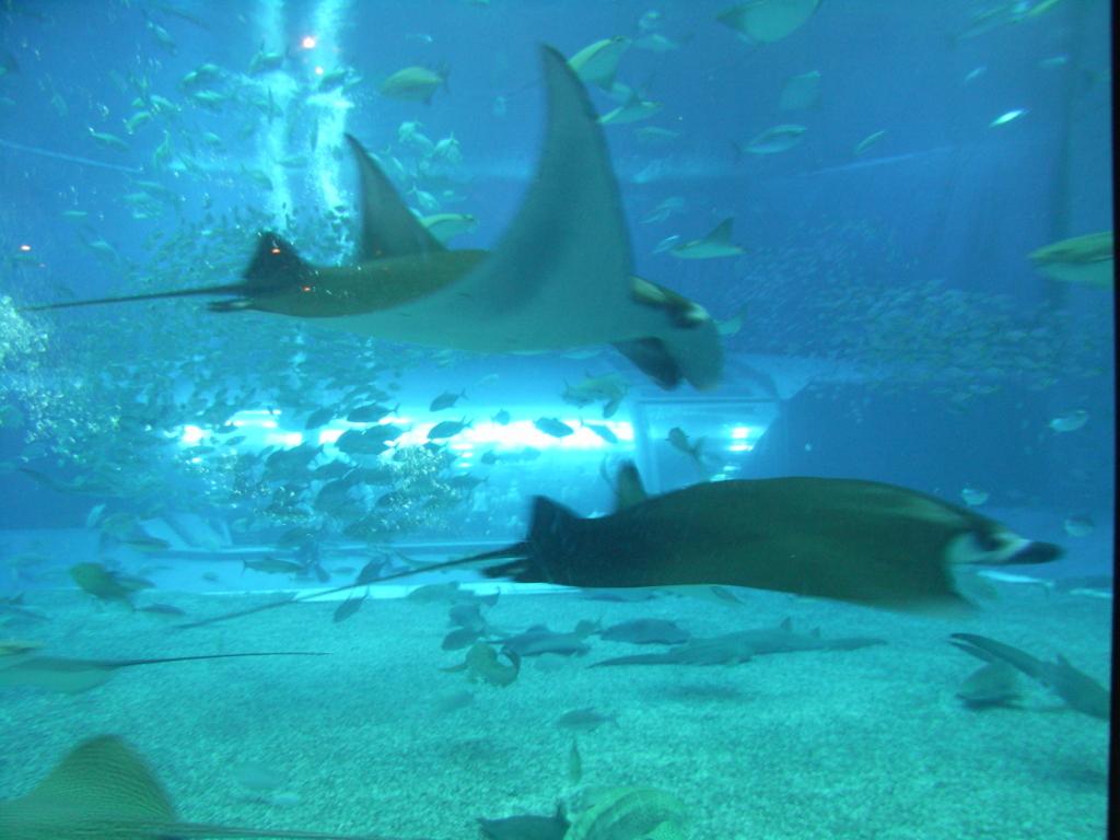 2007年「沖縄美ら海水族館」大水槽「黒潮の海」マンタ