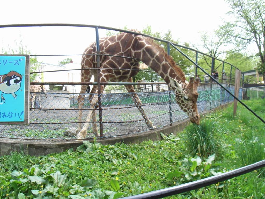 2010年5月 北海道 旭山動物園 草を食べるキリン