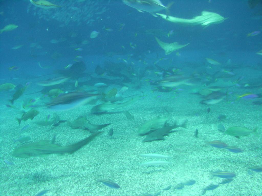 2007年「沖縄美ら海水族館」大水槽「黒潮の海」ジンベイザメ 食事中の 水槽の底
