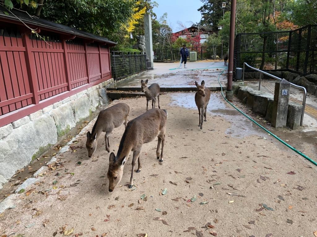 広島県 宮島 早朝 穏やかに通り過ぎる鹿さん