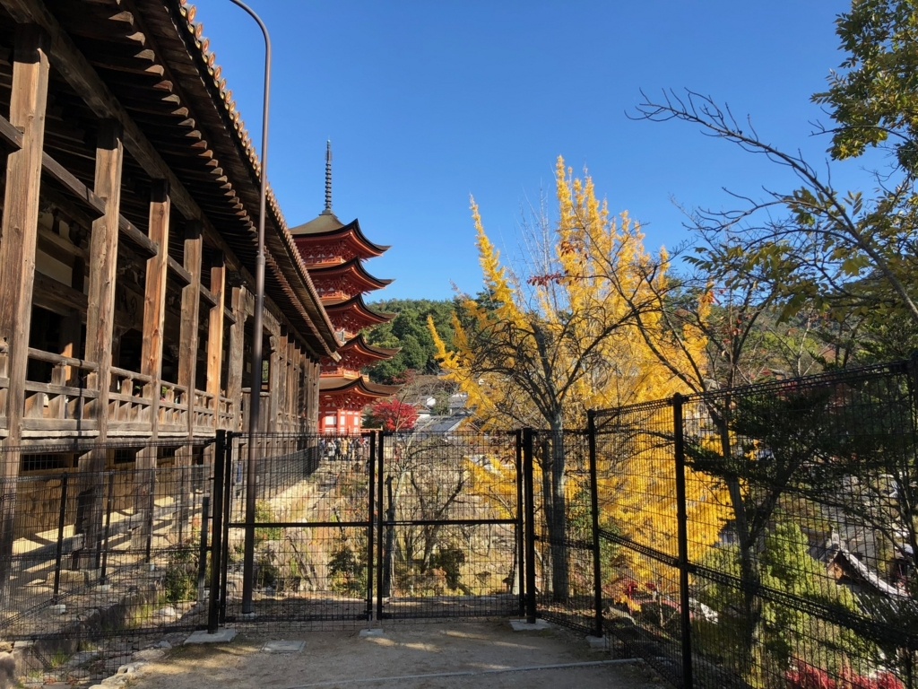 広島県 宮島 豊国神社(千畳閣)前 銀杏の木