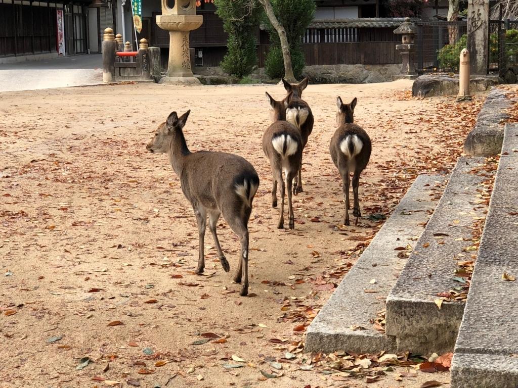広島県 宮島 厳島神社裏 早朝 4匹の鹿