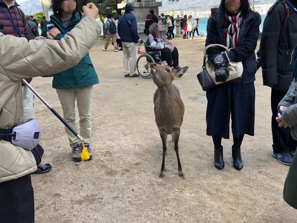 広島県 宮島 日中 餌をねだる鹿さん