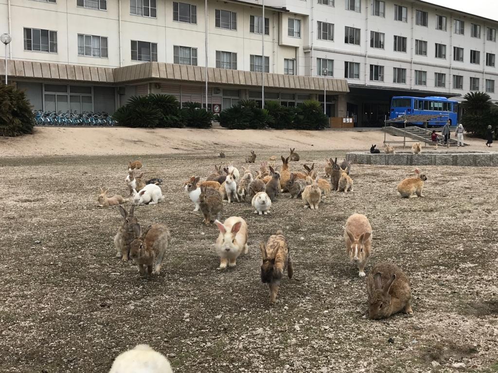 2017年6月朝 広島県 大久野島(うさぎ島) 休暇村 グラウンド 群がるうさぎさん達