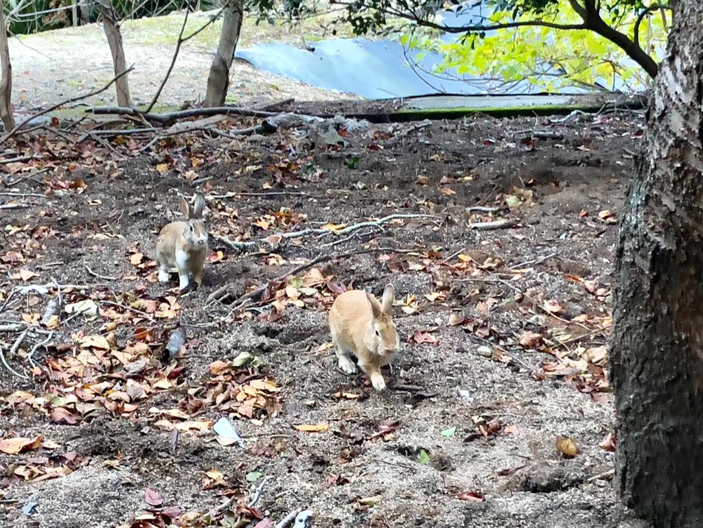 広島県 大久野島(うさぎ島) 展望台への舗装された道で出会った うさぎさん達