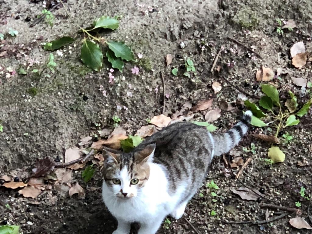 広島県 尾道 「猫の細道」天寧寺三重塔 本物の猫さん 美形
