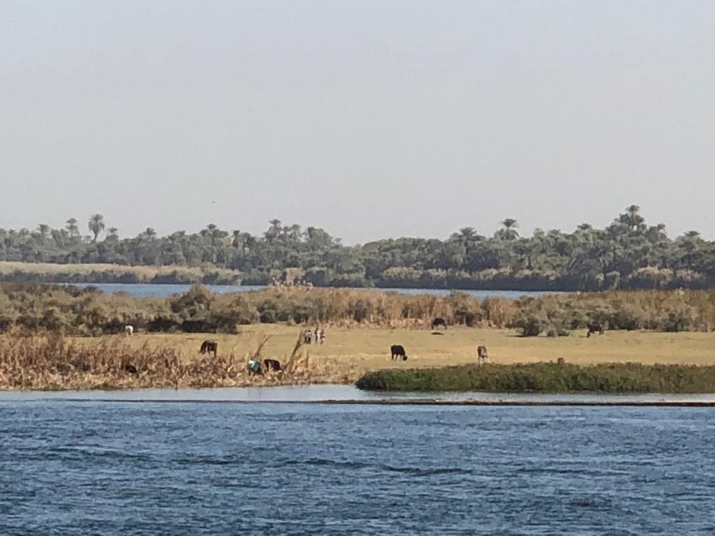 エジプト ナイル川 クルーズ中 エドフからコムオンボ間 中州で放牧