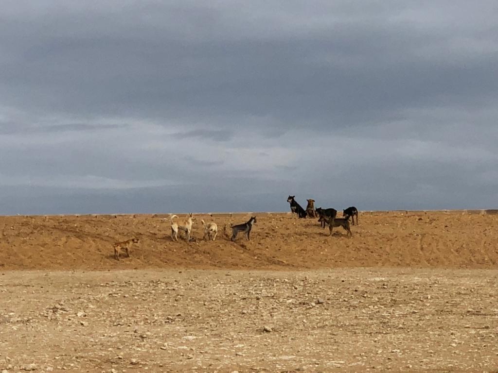 エジプト ギザ 3大ピラミッド「パノラマポイント」 周囲の風景風景 水平線には野犬 拡大