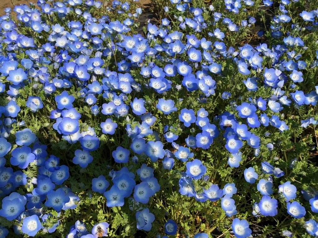 「国営武蔵丘陵森林公園」2018年4月中旬 西口広場 ネモフィラ 小さなお花が集まって