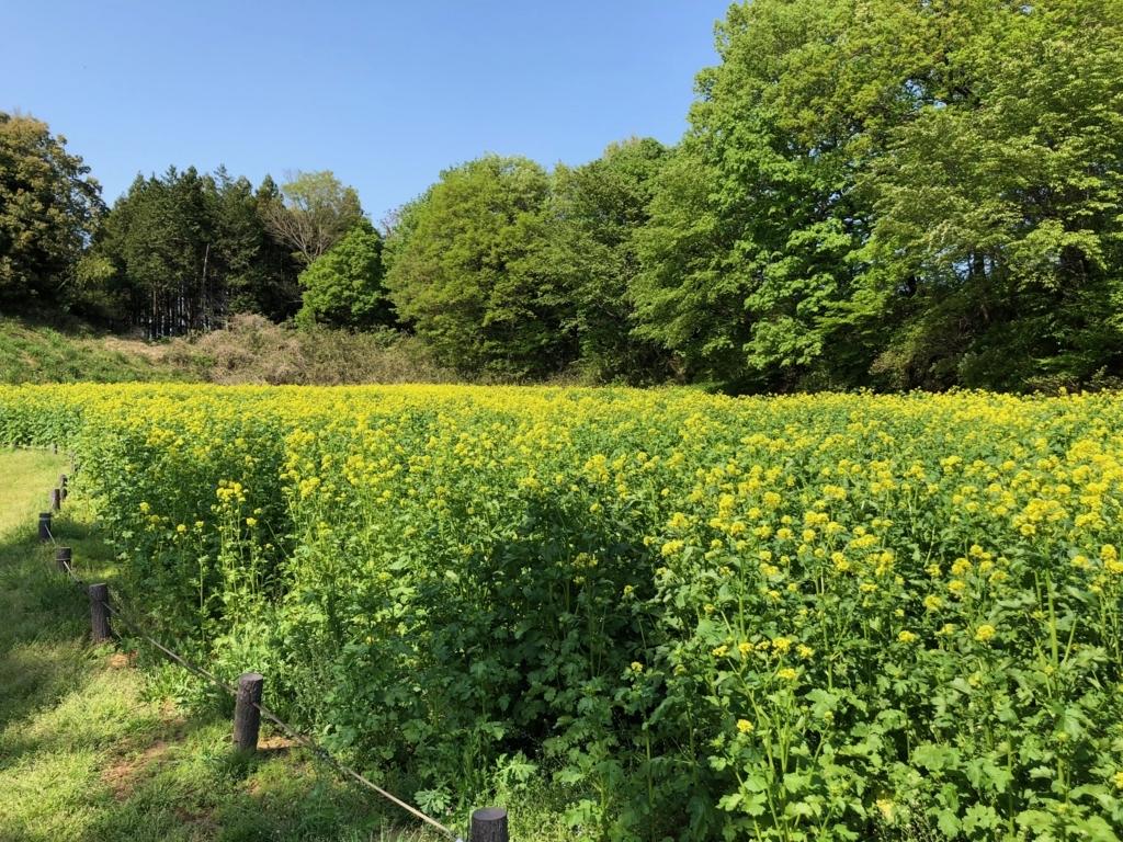 「国営武蔵丘陵森林公園」2018年4月中旬 セイヨウカラシナ 満開