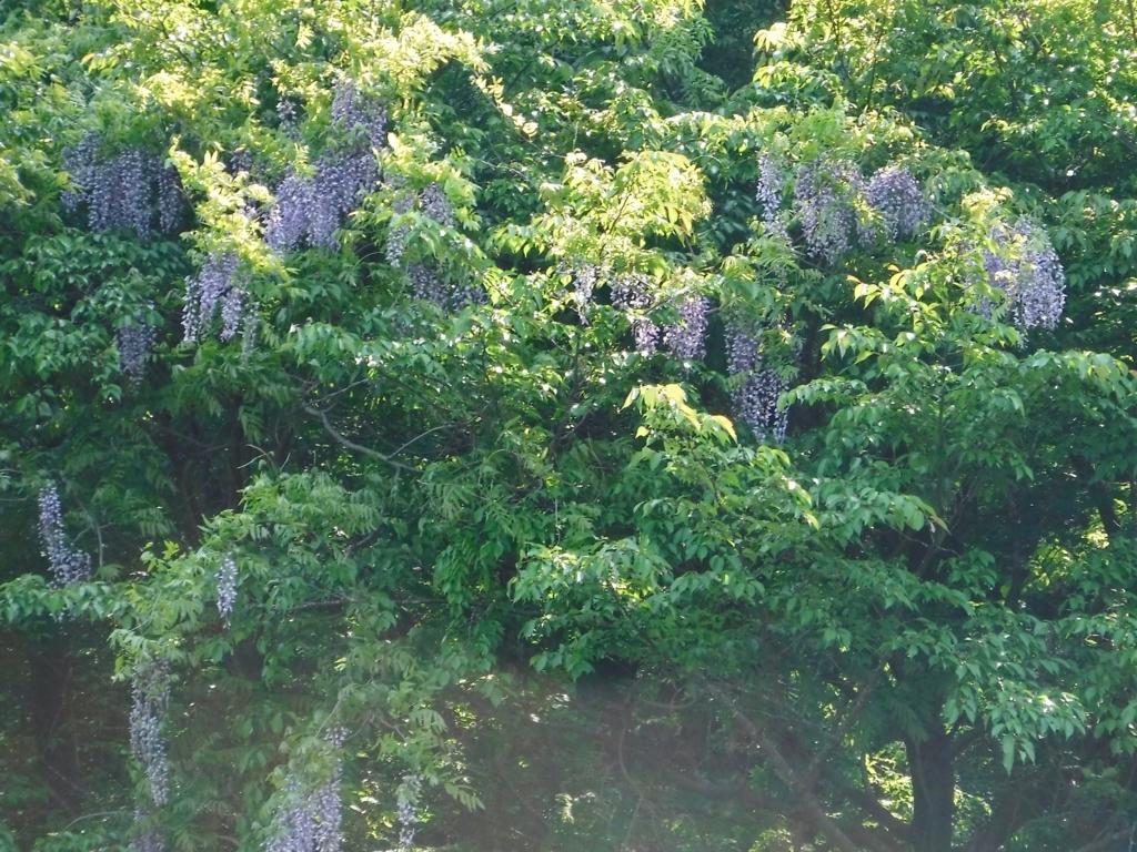 「国営武蔵丘陵森林公園」2018年4月中旬 野生の藤