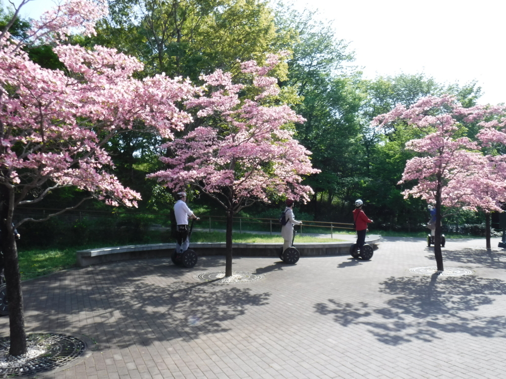 「国営武蔵丘陵森林公園」2018年4月中旬 西口広場へ移動中 ハナミズキ 満開