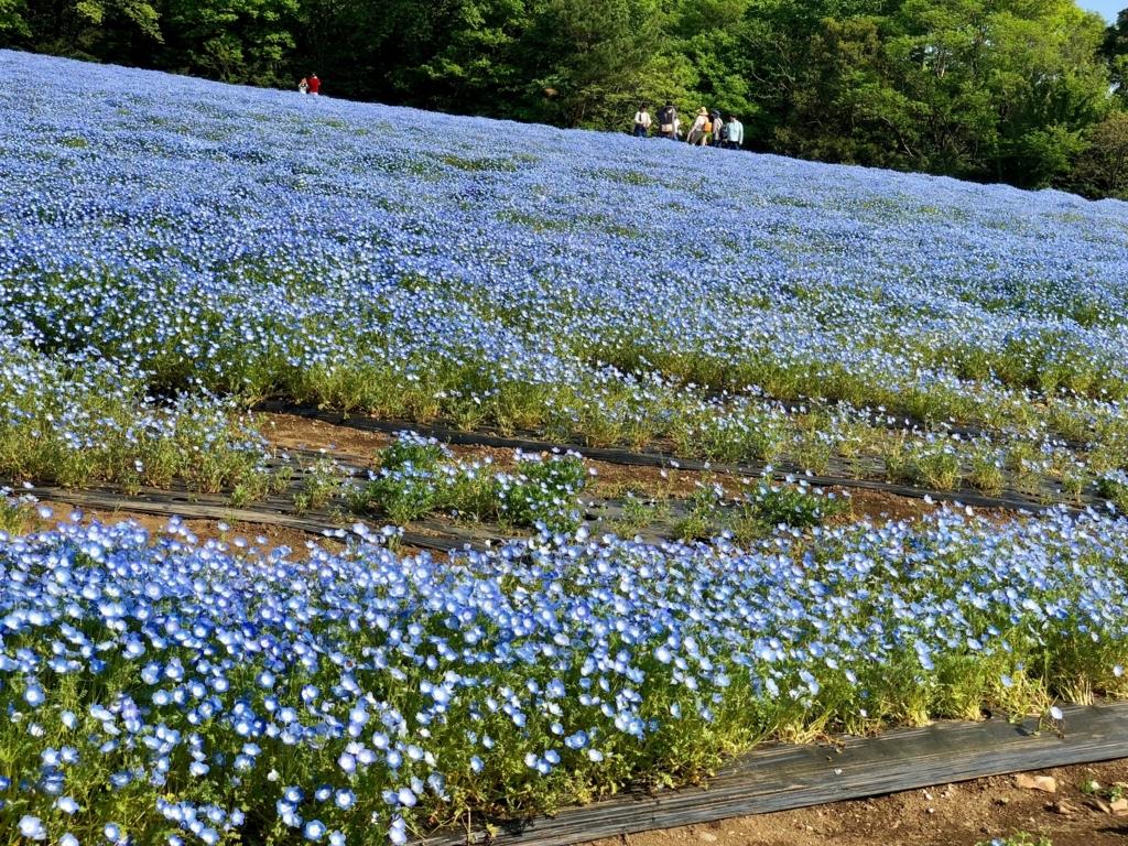 「国営武蔵丘陵森林公園」2018年4月中旬 西口広場 ネモフィラ 満開