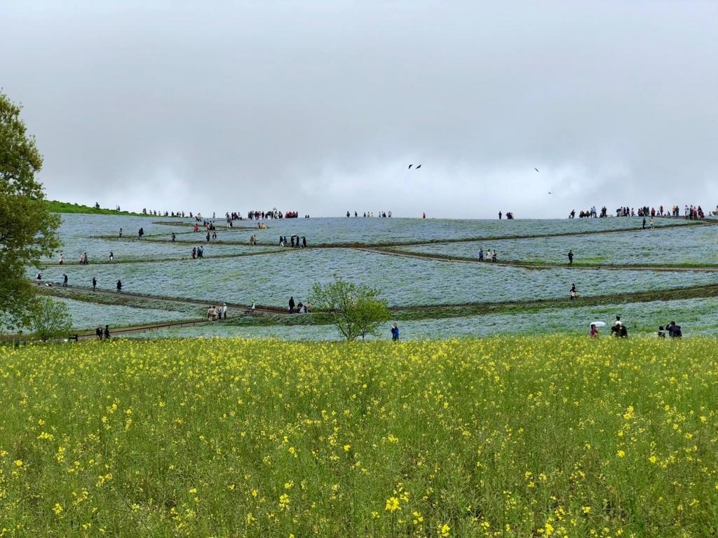 「国営ひたちなか海浜公園」菜の花畑から「みはらしの丘」ネモフィラ畑 豪雨の後