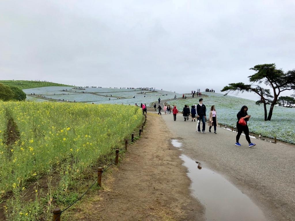 「国営ひたちなか海浜公園」みはらしの丘 手前に菜の花畑