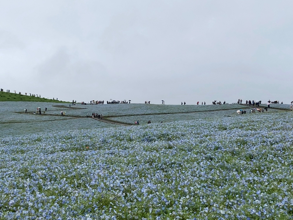 「国営ひたちなか海浜公園」ネモフィラ「みはらしの丘」 丘の下から撮影