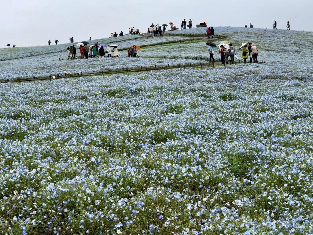 「国営ひたちなか海浜公園」ネモフィラ「みはらしの丘」 ゆるやかな上り坂
