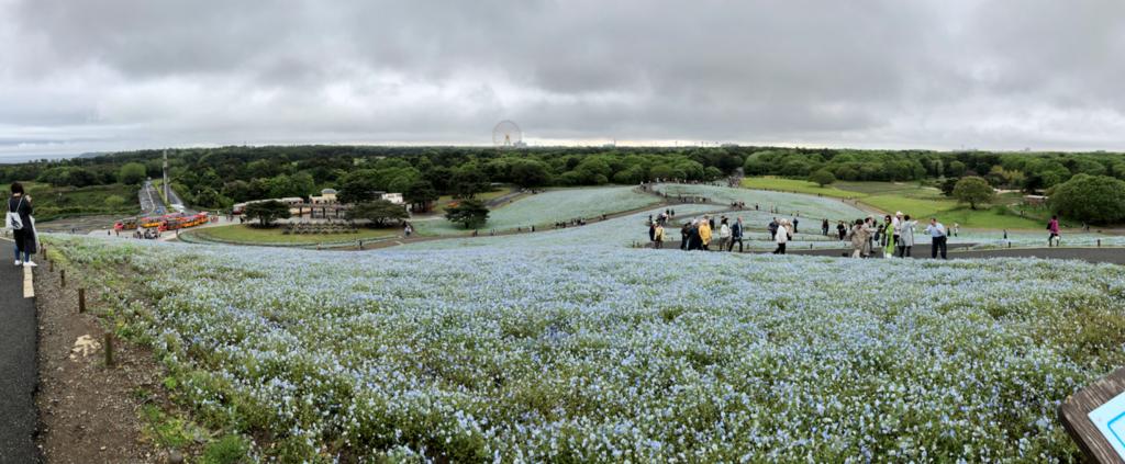 「国営ひたちなか海浜公園」ネモフィラ 「みはらしの丘」頂上からパノラマ撮影
