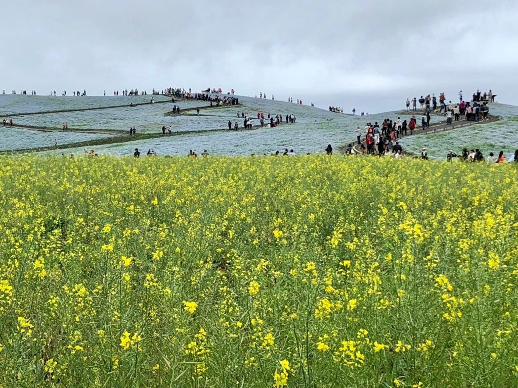 「国営ひたちなか海浜公園」「みはらしの丘」手前は菜の花畑 ネモフィラと菜の花
