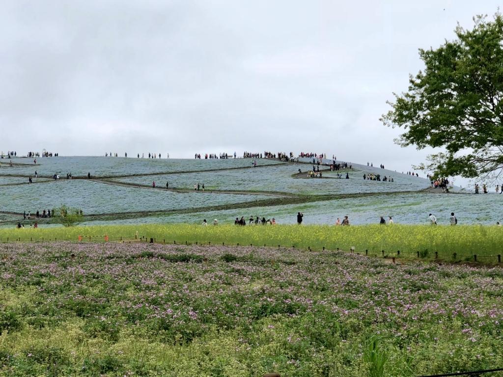 「国営ひたちなか海浜公園」「みはらしの丘」ネモフィラと菜の花とレンゲ