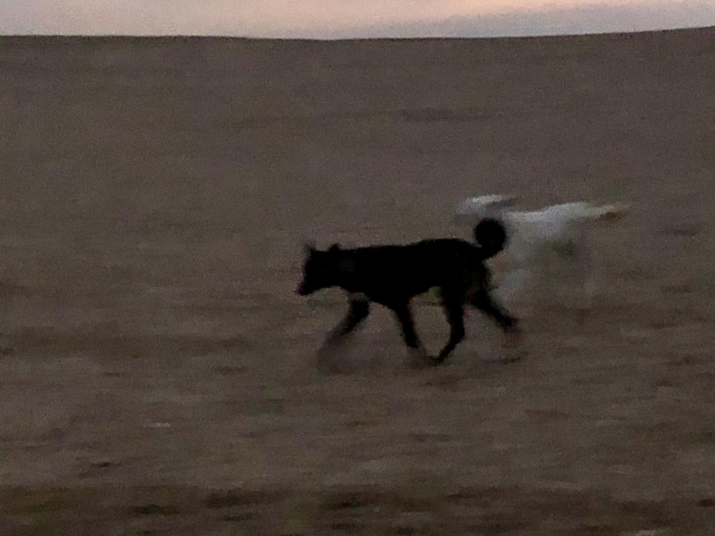 エジプト ギザ 夜明け前 3大ピラミッドエリア 吠える犬達