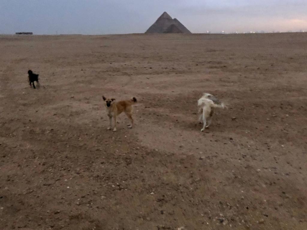 エジプト ギザ 3大ピラミッド 夜明け近く 集まってくる犬達