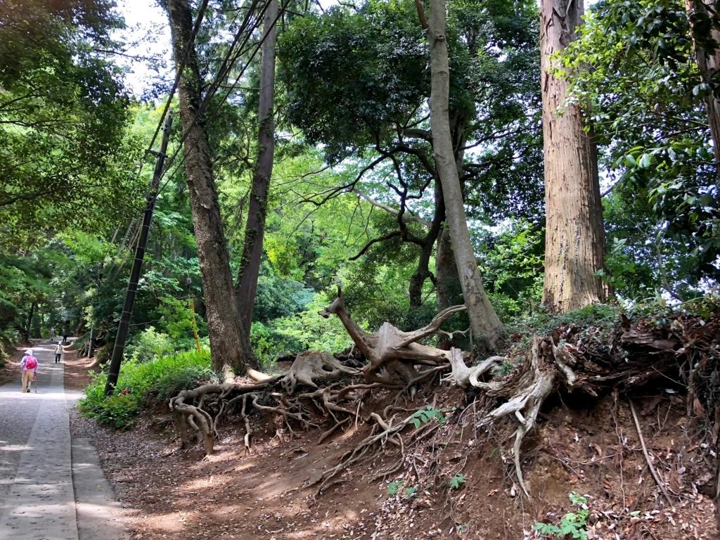 2018年5月 高尾山 一号路 中腹後半 路の脇には大木の根