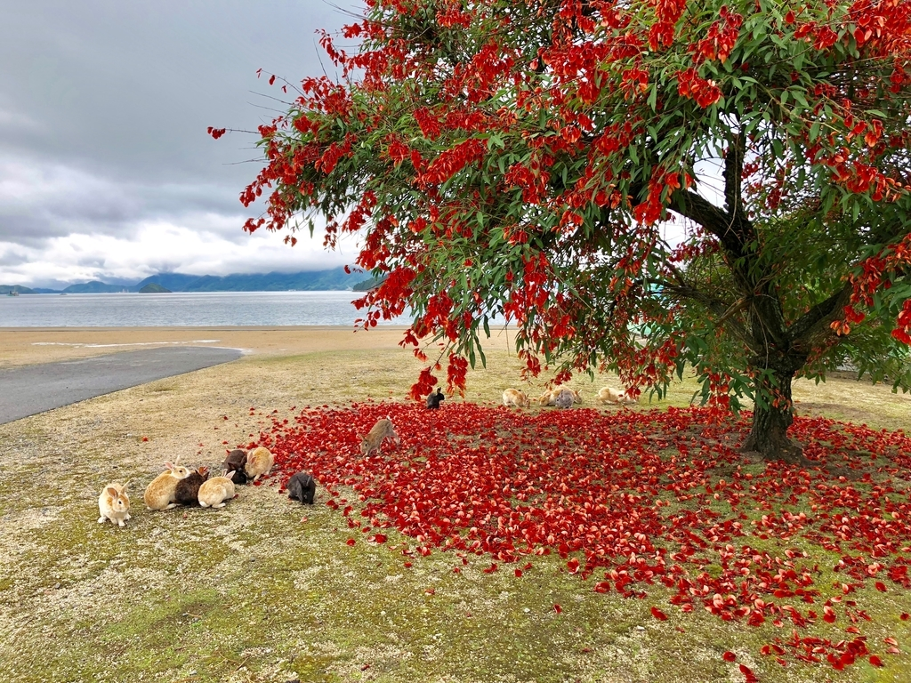 2018年6月 うさぎ島(大久野島)「アメリカデイゴ」の赤い花 満開