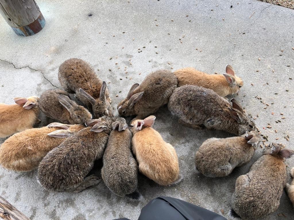 2018年6月うさぎ島(大久野島) 海水浴場近く 東屋 たくさん集まる うさぎさん達