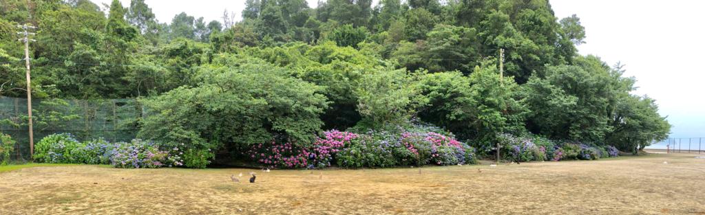 2018年6月l後半うさぎ島(大久野島)グラウンドの南側は 紫陽花が満開