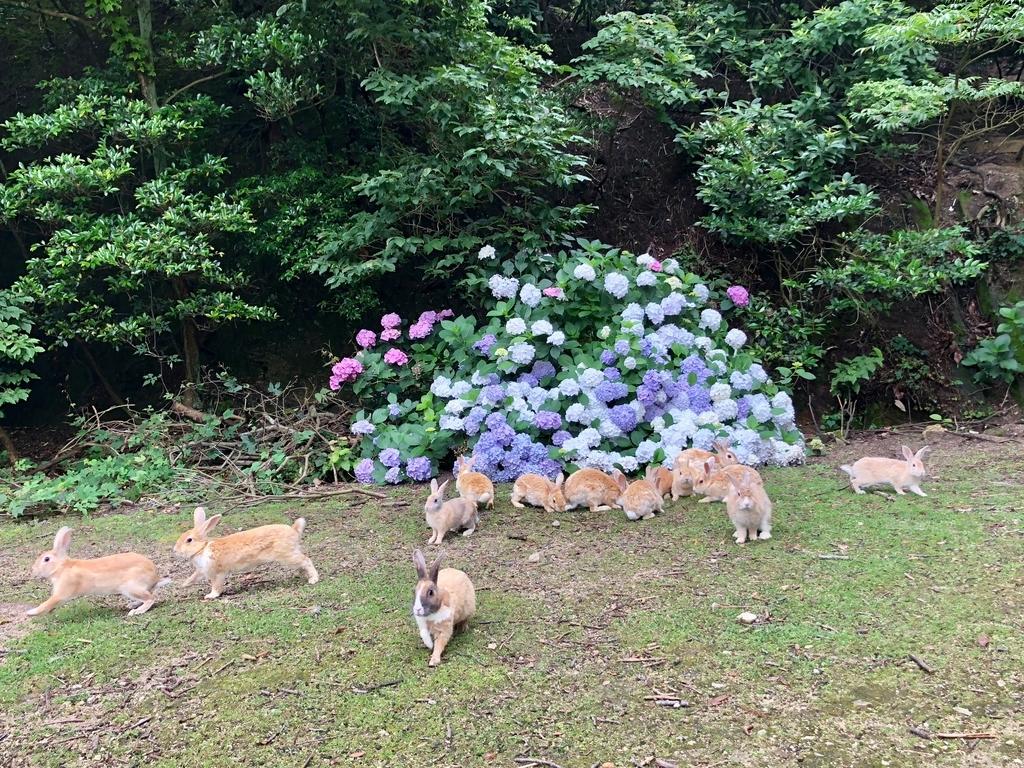 2018年6月うさぎ島(大久野島)パターゴルフ場近く 紫陽花満開 食事中の うさぎさん達