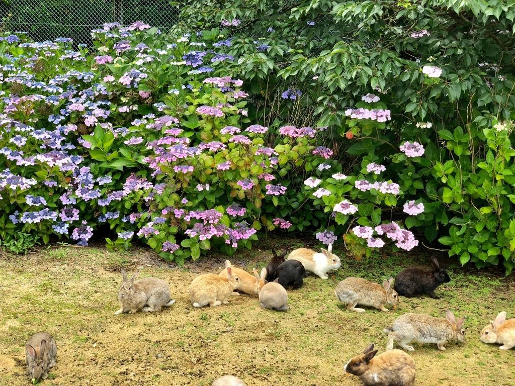 2018年6月うさぎ島(大久野島)雨上がりの グラウンド