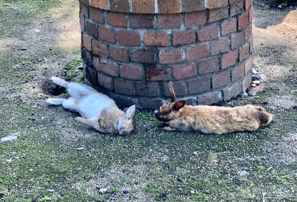2018年6月うさぎ島(大久野島) ビジターセンター近く ひっくり返って寝ている うさぎさん