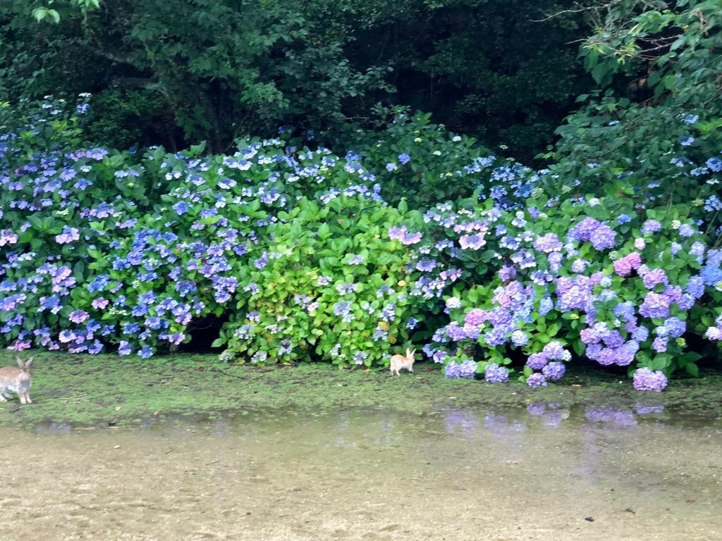 2018年6月うさぎ島(大久野島)グラウンド 前日 雨降り時には大きな水溜り