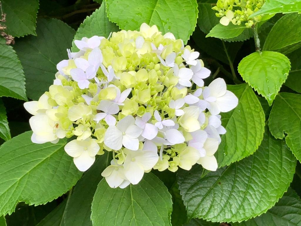 山口県秋吉台国定公園 秋吉台 秋芳洞 エレベータへの道 6月 両脇には紫陽花満開