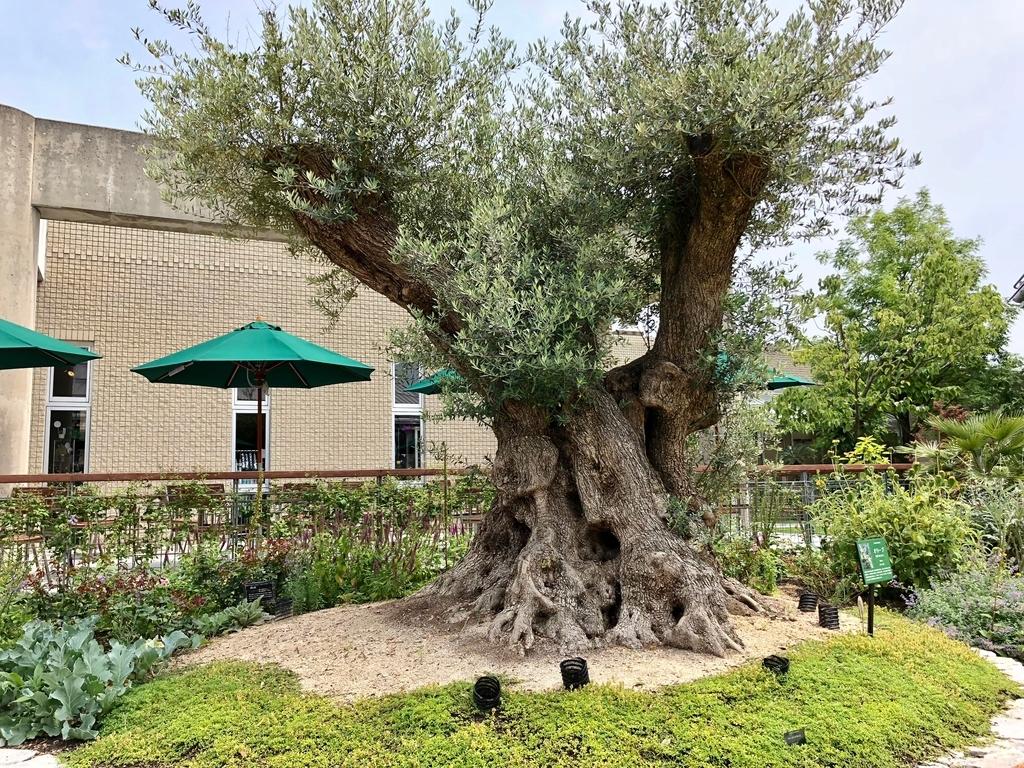 山口県 宇部市 「ときわ公園」ときわミュージアム 世界を旅する植物園 「オリーブ」の木