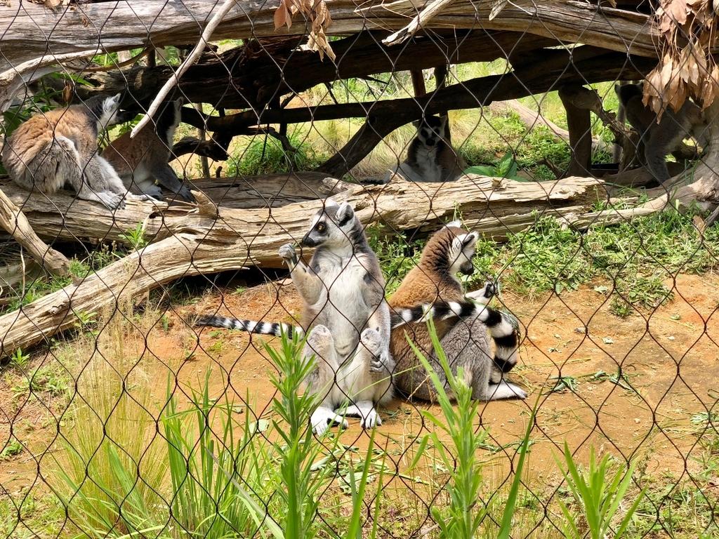 山口県宇部市「ときわ動物園」アフリカの丘陵 マダガスカルゾーン 「ワオキツネザル」