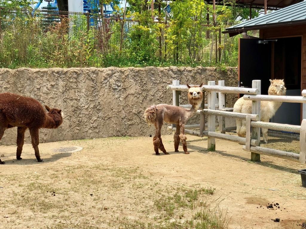 山口県宇部市「ときわ動物園」学習施設ゾーン 「アルパカ」