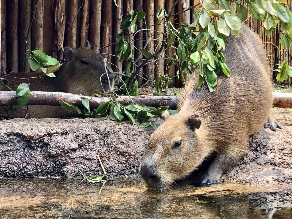 山口県宇部市「ときわ動物園」中南米の水辺ゾーン「カピバラ」
