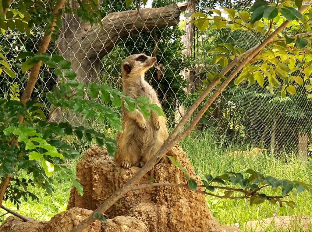 山口県宇部市「ときわ動物園」ミーアキャット